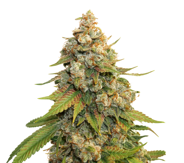 GOLDEN LEMON HAZE FEMINIZED, Seedstockers