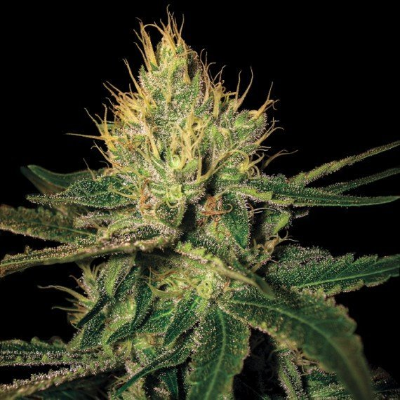 Cannalope Haze feminised, DNA Genetics