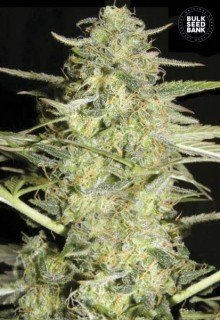 Auto Loveryder feminized, Bulk Seed Bank