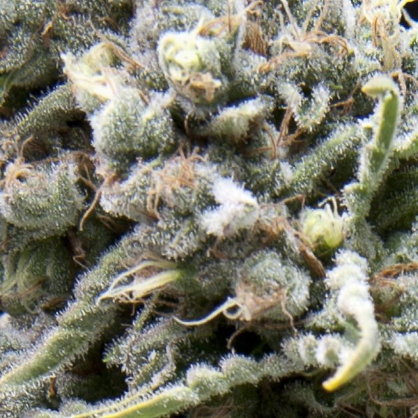 Auto White Widow feminized, Pyramid Seeds