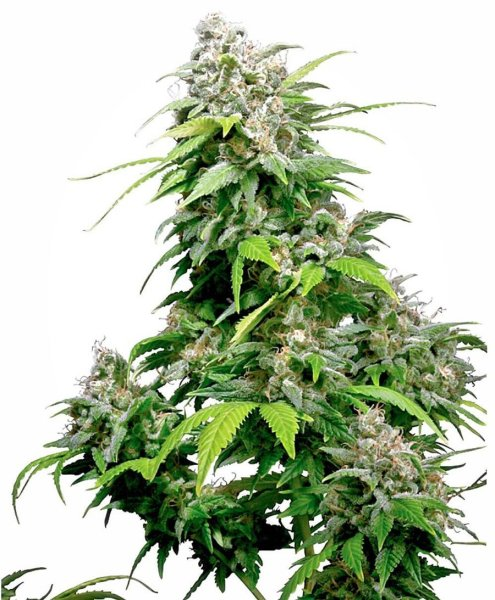 California Indica Feminized seeds, Sensi Seeds