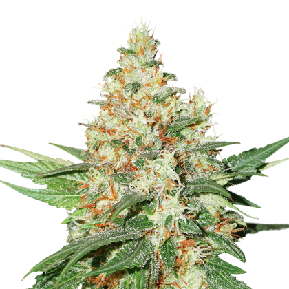 O.G. KUSH FEMINIZED, Seedstockers