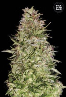 Auto White Prussian feminized, Bulk Seed Bank