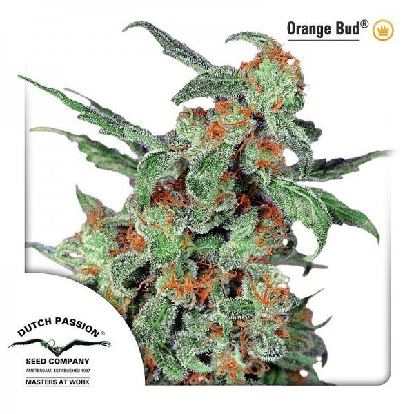 Orange Bud, Dutch Passion