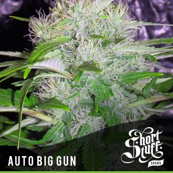 Auto Big Gun feminized, Short Stuff Seedbank