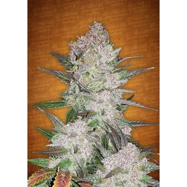 Auto Cream Cookies feminized, Fast Buds