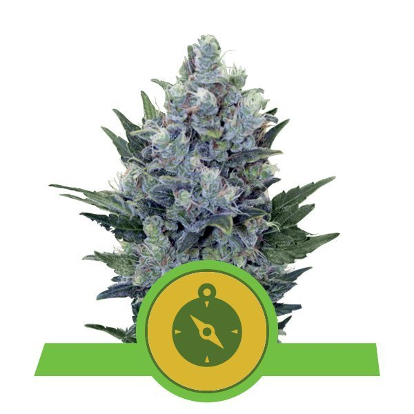 Auto Northern Light feminized, Royal Queen Seeds