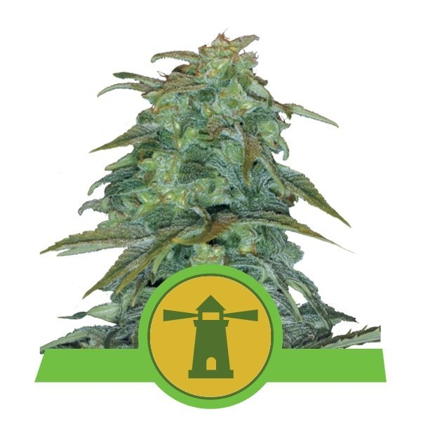 Auto Royal Haze feminized, Royal Queen Seeds