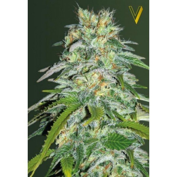 Parmesan feminized, Victory Seeds