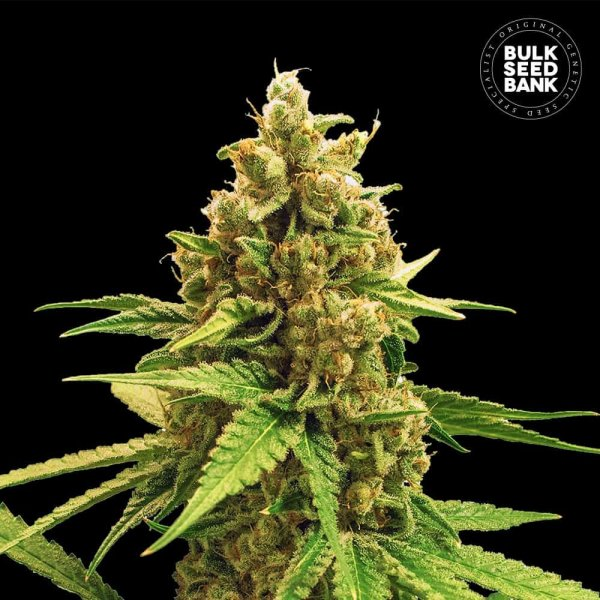 Winning Cake feminized, Bulk Seed Bank