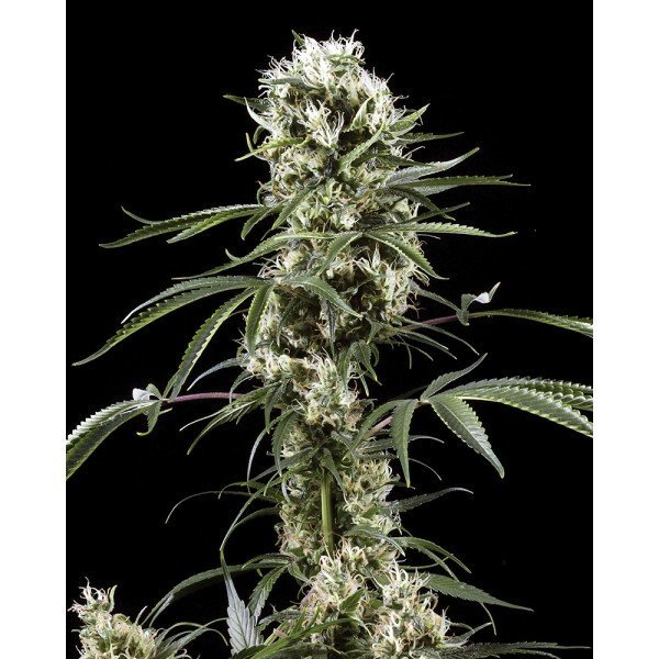 Super Lemon Haze Feminised, Green House Seeds