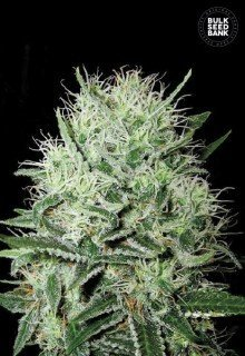 Auto Big Devil Kiss feminized, Bulk Seed Bank