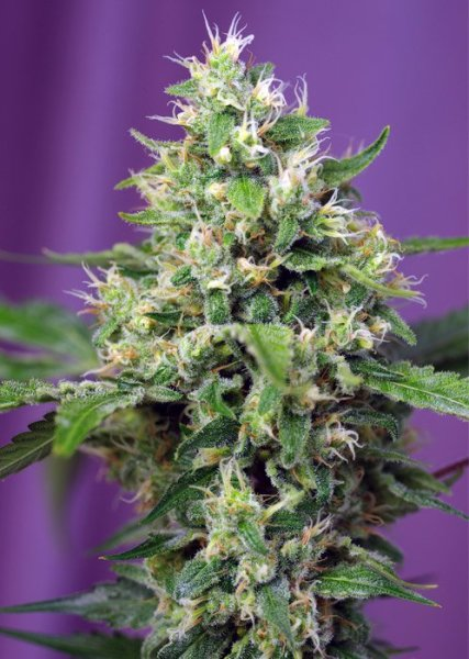 Auto Blow Mind SWS57 feminized, Sweet Seeds