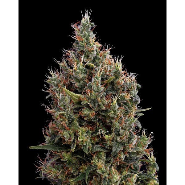 Auto Big Bang Feminised, Green House Seeds