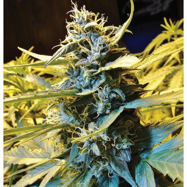 Auto Northern HOG feminized, T.H.Seeds