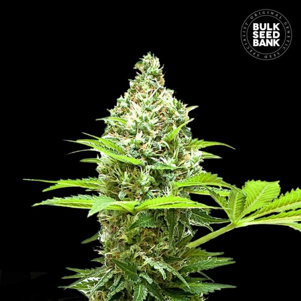 Sherbet Power feminized, Bulk Seed Bank