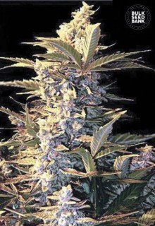 Auto East Ryder feminized, Bulk Seed Bank