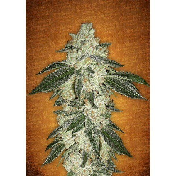 Auto Green Crack feminized, Fast Buds