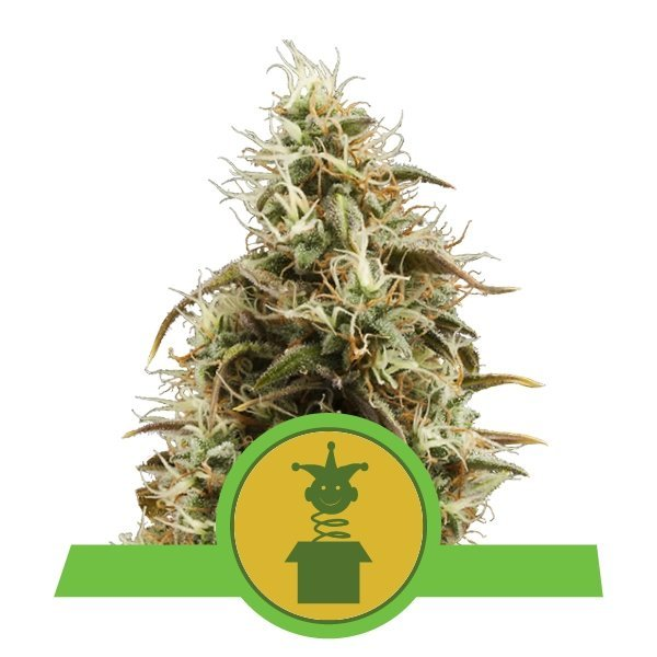Auto Royal Jack feminized, Royal Queen Seeds