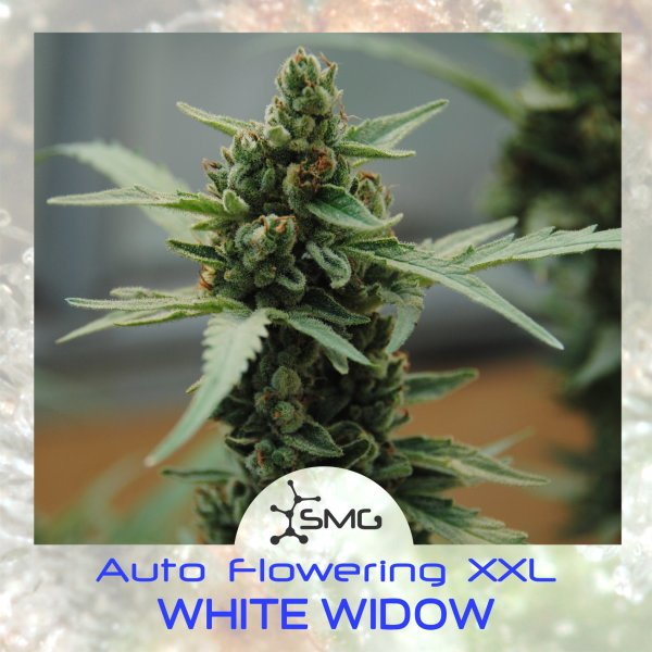 Auto White Widow XXL feminized, SMGenetics