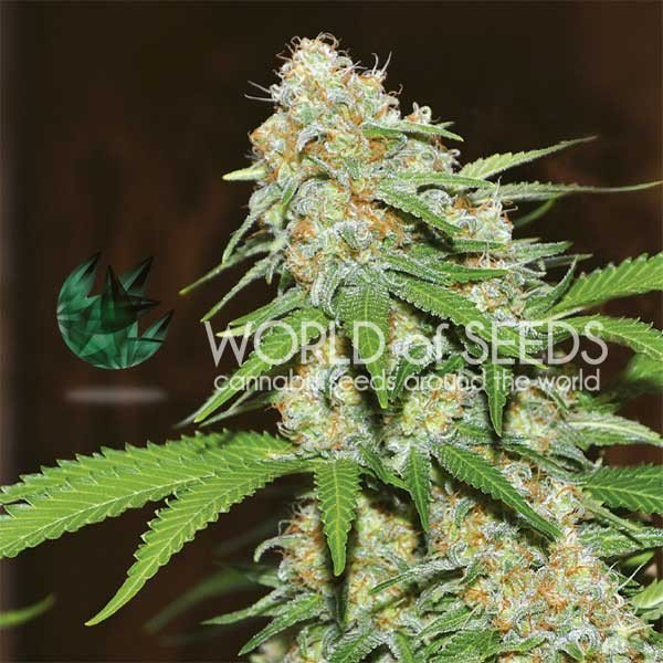 Mazar x White Rhino feminized, World of Seeds