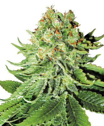 Northern Lights Automatic feminized, Sensi White Label