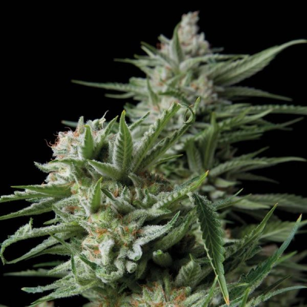 Sweet Madness feminized, Trikoma Seeds