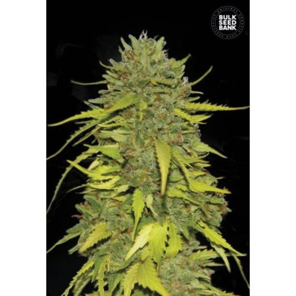 AK feminized, Bulk Seed Bank