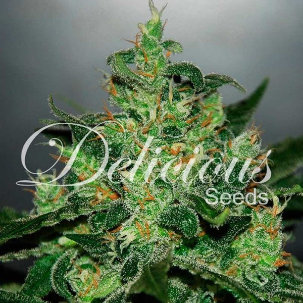 Auto Critical Jack Herer feminized, Delicious Seeds