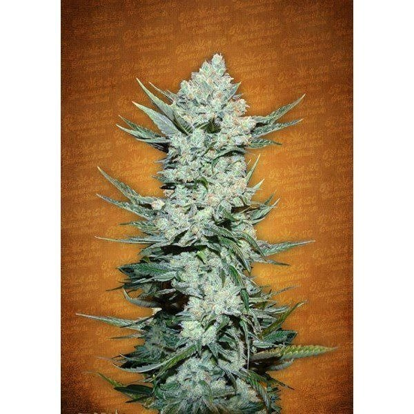 Auto Tangie Matic feminized, Fast Buds