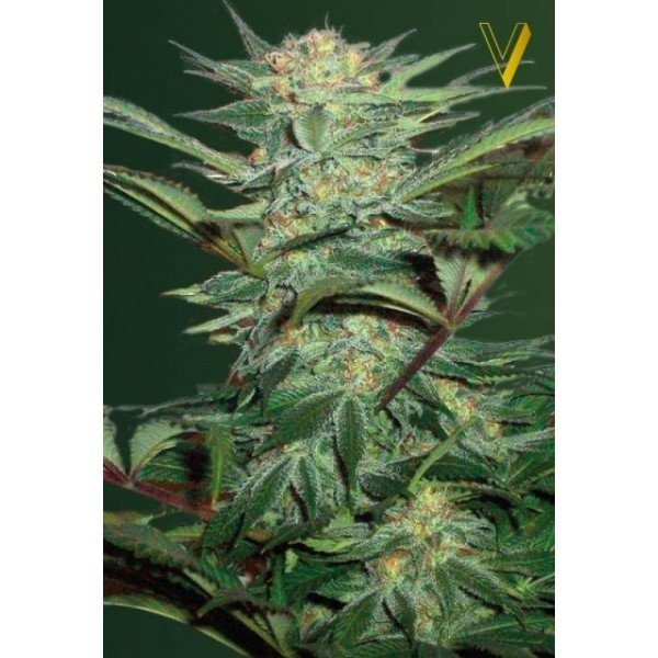 Auto White Widow feminized, Victory Seeds