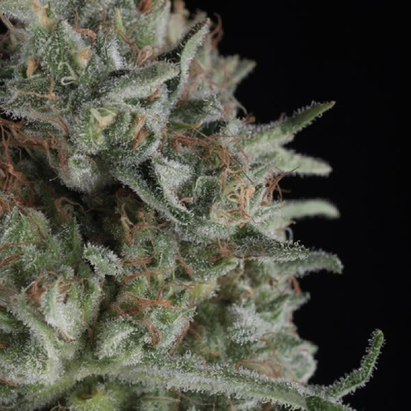 Critical Plus feminized, Trikoma Seeds