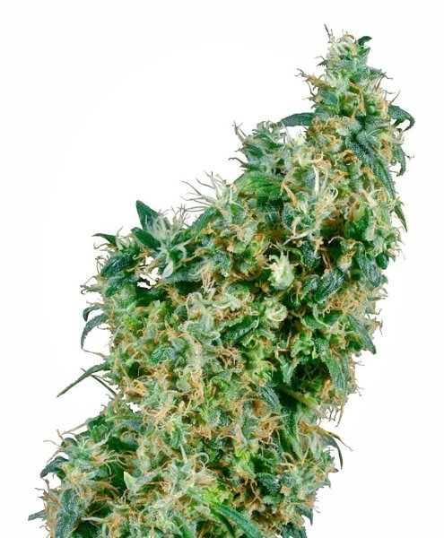 First Lady® Seeds, Sensi Seeds