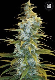Northern Light feminized, Bulk Seed Bank