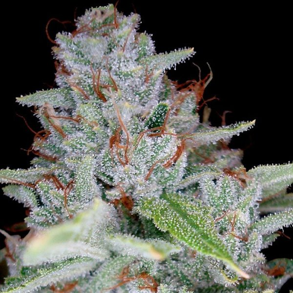 Skywalker Kush feminised, DNA Reserva Privada