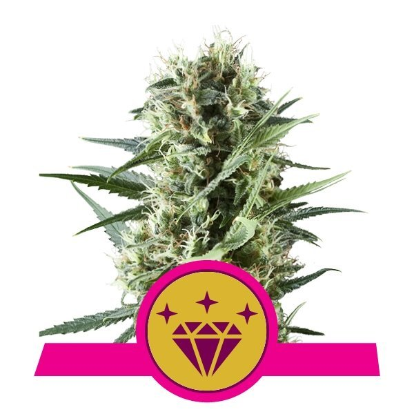 Special Kush 1 feminized, Royal Queen Seeds