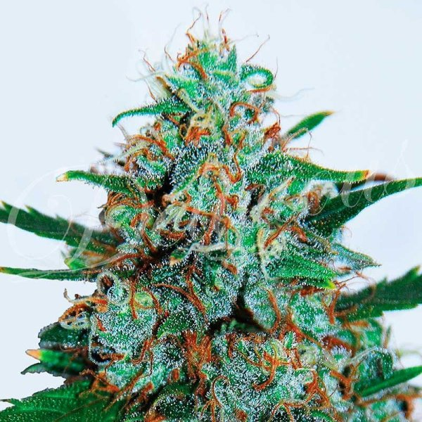 Auto Critical Neville Haze feminized, Delicious Seeds