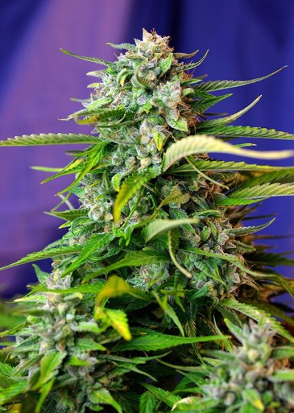 Auto Jack 47 SWS31 feminized, Sweet Seeds