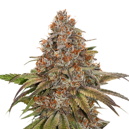 BLACKBERRY GUM FEMINIZED, Seedstockers