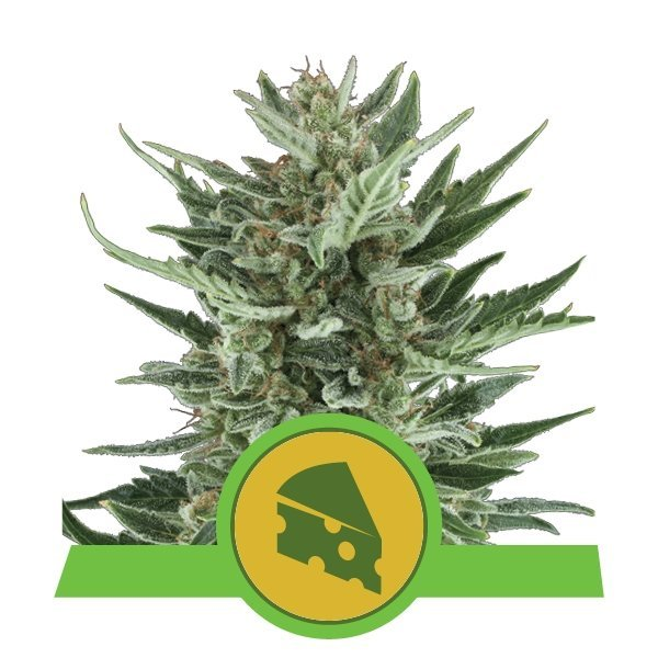 Auto Royal Cheese feminized, Royal Queen Seeds