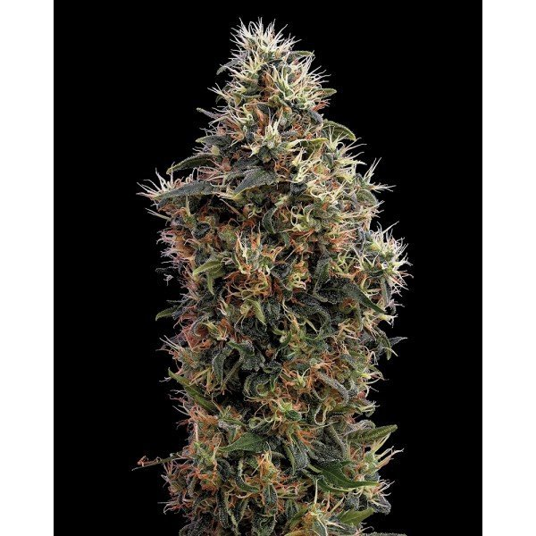 Auto Sweet Mango Feminised, Green House Seeds