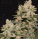 MOB feminized, T.H.Seeds