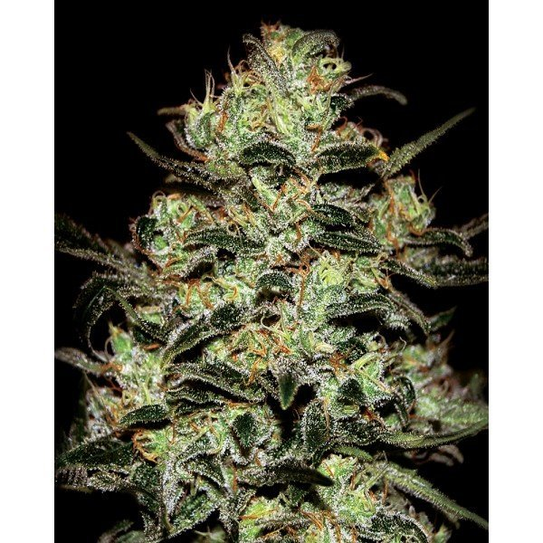 Moby Dick Feminised, Green House Seeds