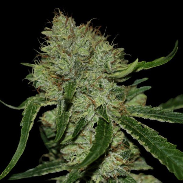 Tangilope feminised, DNA Genetics