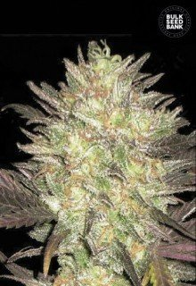 Auto Lavender Best feminized, Bulk Seed Bank