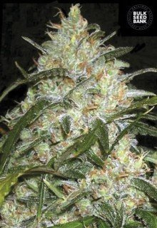 Grapefruit feminized, Bulk Seed Bank