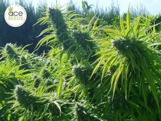 Tikal feminized, ACE Seeds