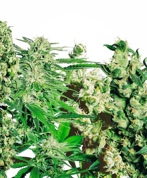Feminized Mix Seeds, Sensi Seeds