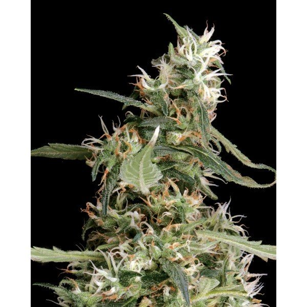 Arjan's Ultra Haze №1 Feminised, Green House Seeds