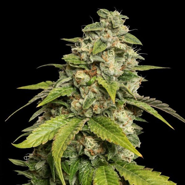 Sour Kush feminised, DNA Reserva Privada